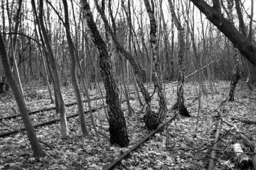 Black and white image of trees trunks