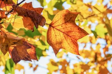 Picture of fall leaves.